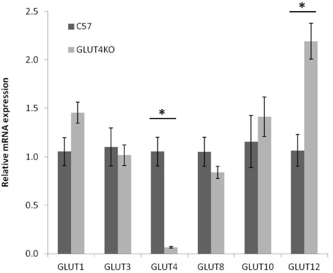 GLUT4, GLUT1, and GLUT8 are the dominant GLUT transcripts expressed