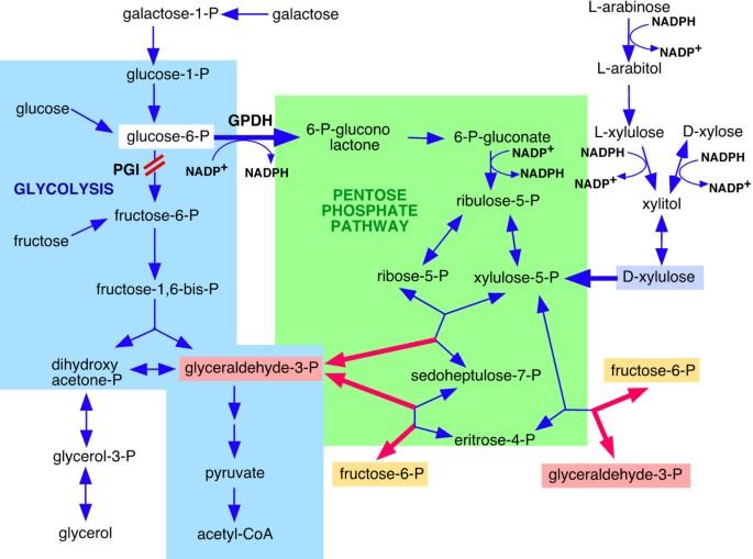 The effects of disruption of phosphoglucose isomerase gene