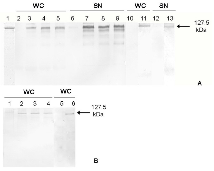 Expression of an endotoxin-free S-layer/allergen fusion
