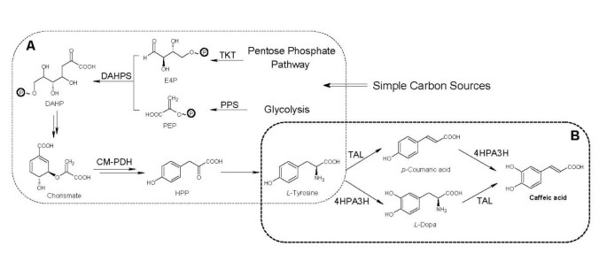 Biosynthesis of caffeic acid in Escherichia coli using its