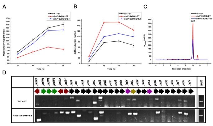 Disruption of rimP-SC , encoding a ribosome assembly cofactor