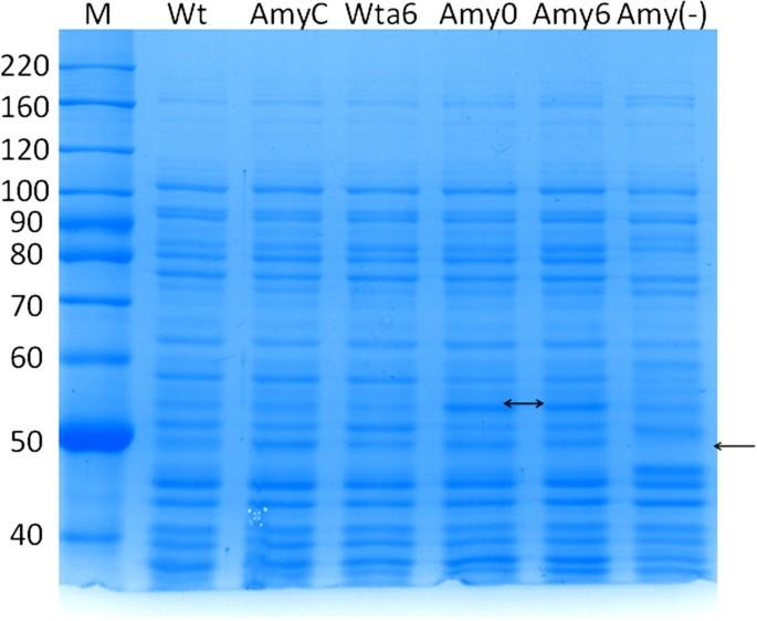 Engineering Escherichia coli K12 MG1655 to use starch   Microbial