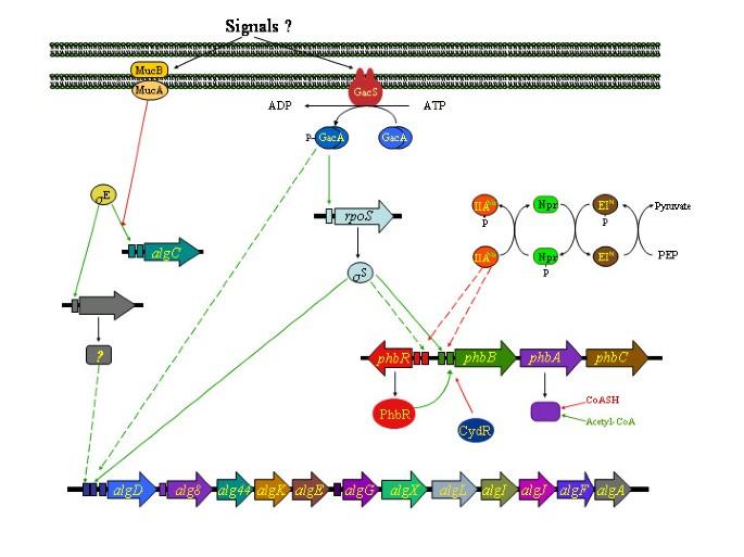 Molecular and bioengineering strategies to improve alginate
