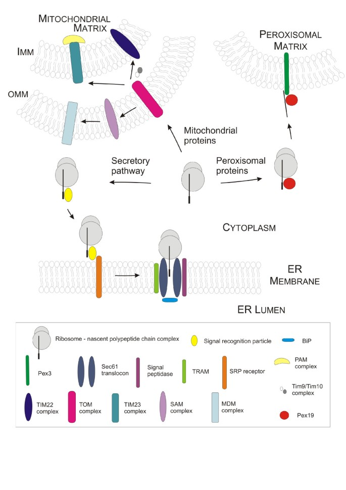 Tuning microbial hosts for membrane protein production | Microbial