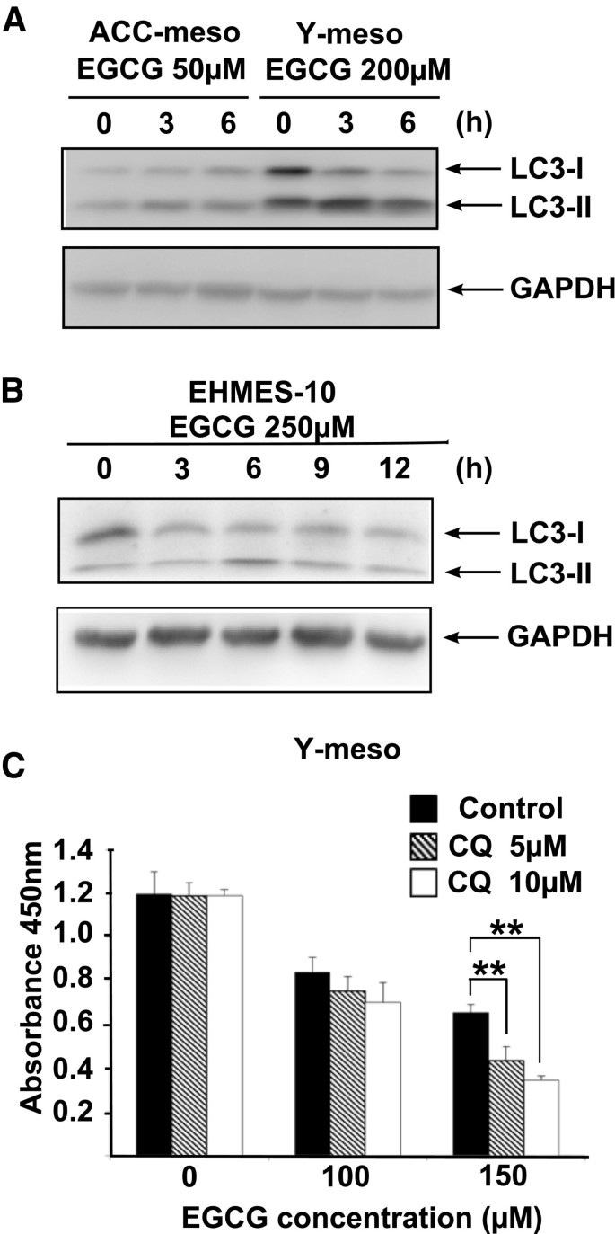 EGCG induces human mesothelioma cell death by inducing reactive