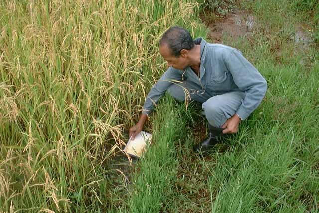 A possible alternative method for collecting mosquito larvae in rice