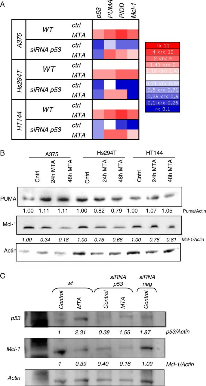 Molecular mechanism implicated in Pemetrexed-induced