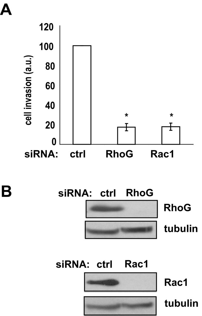 The small GTPase RhoG mediates glioblastoma cell invasion ...