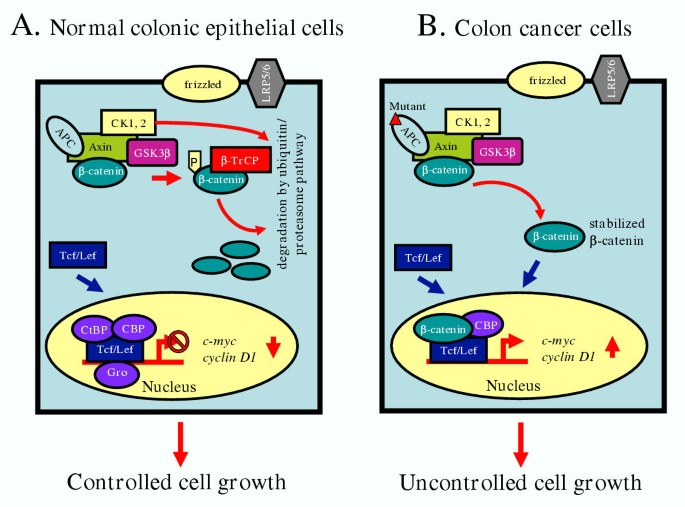 Role Of Apc And Dna Mismatch Repair Genes In The Development Of Colorectal Cancers Molecular Cancer Full Text