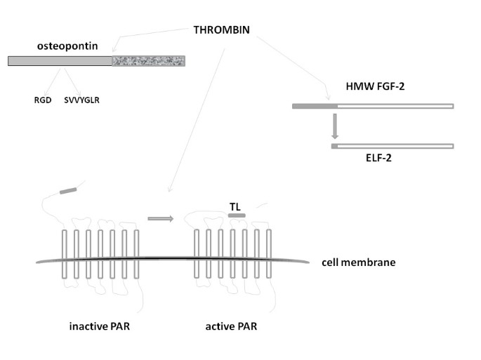 Protein targets of inflammatory serine proteases and