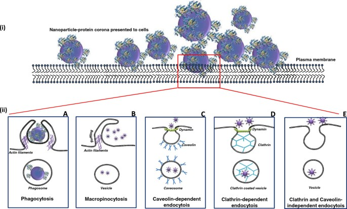 Interaction of nanoparticles with proteins: relation to bio