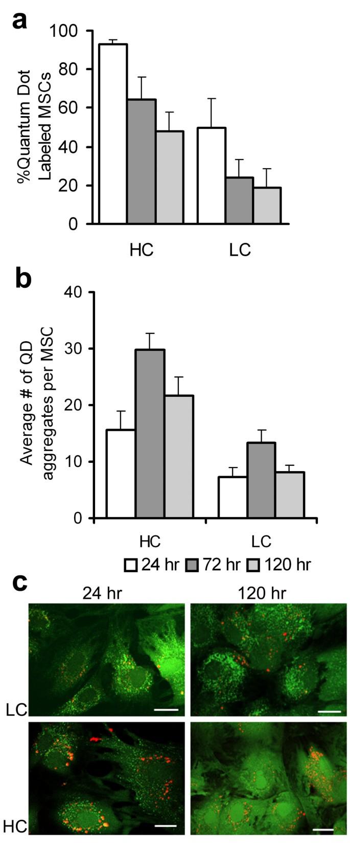 Quantum dot labeling of mesenchymal stem cells   Journal of