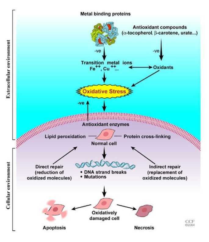 Role of oxidative stress in female reproduction | Reproductive