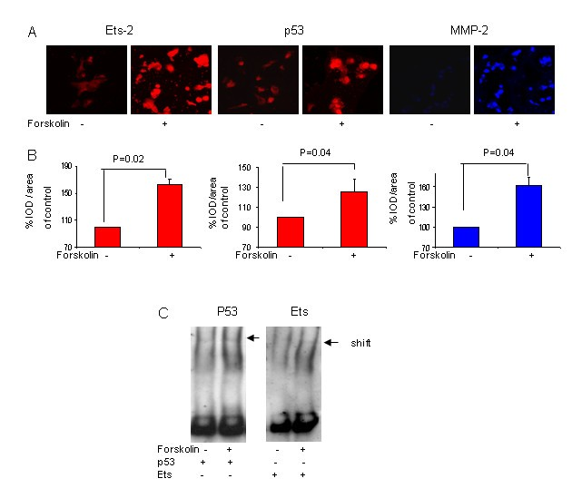 Ets-2 and p53 mediate cAMP-induced MMP-2 expression