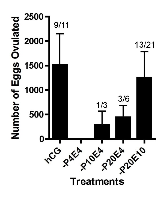 Induction of ovulation in Xenopus without hCG injection: the effect