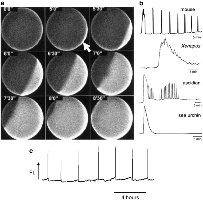 Oocyte activation and phospholipase C zeta (PLCζ