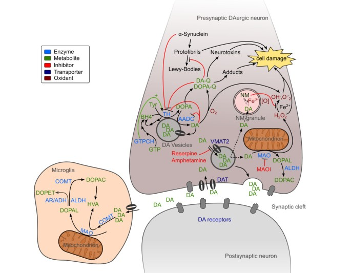 Complexity of dopamine metabolism   Cell Communication and