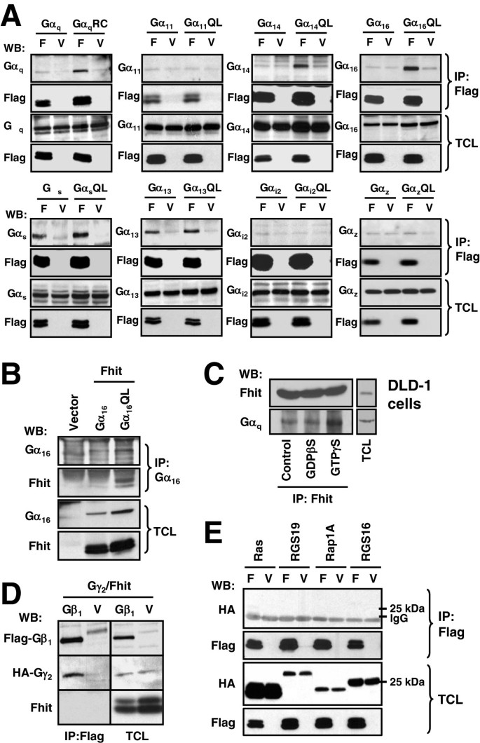Activation state-dependent interaction between Gα q subunits