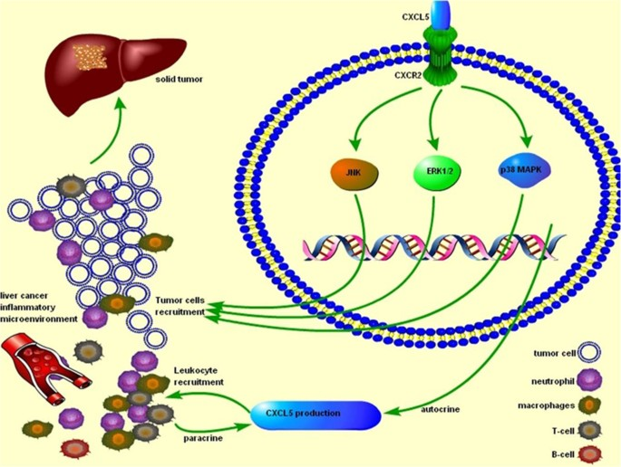 Roles of CXCL5 on migration and invasion of liver cancer cells