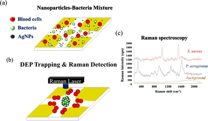 Rapid identification of bacteria utilizing amplified