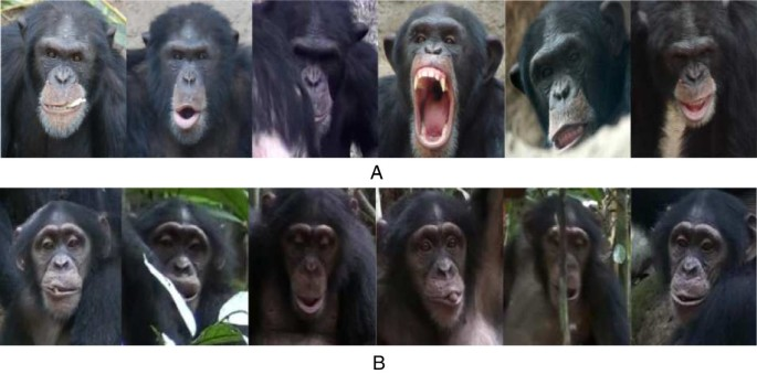 An automated chimpanzee identification system using face detection