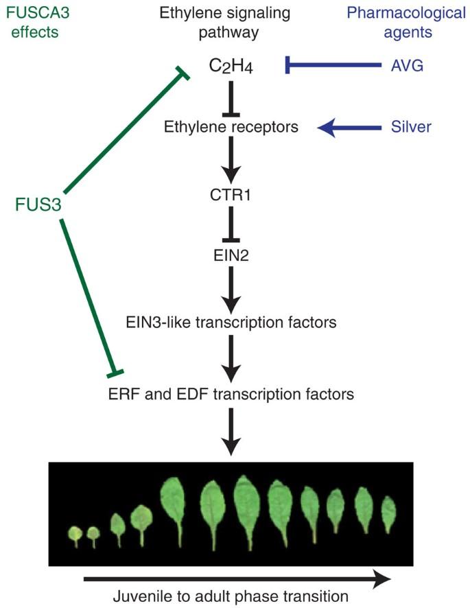 Ethylene and the regulation of plant development | BMC