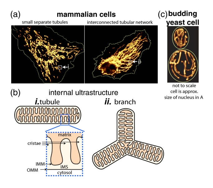 Mitochondrial network morphology: building an integrative