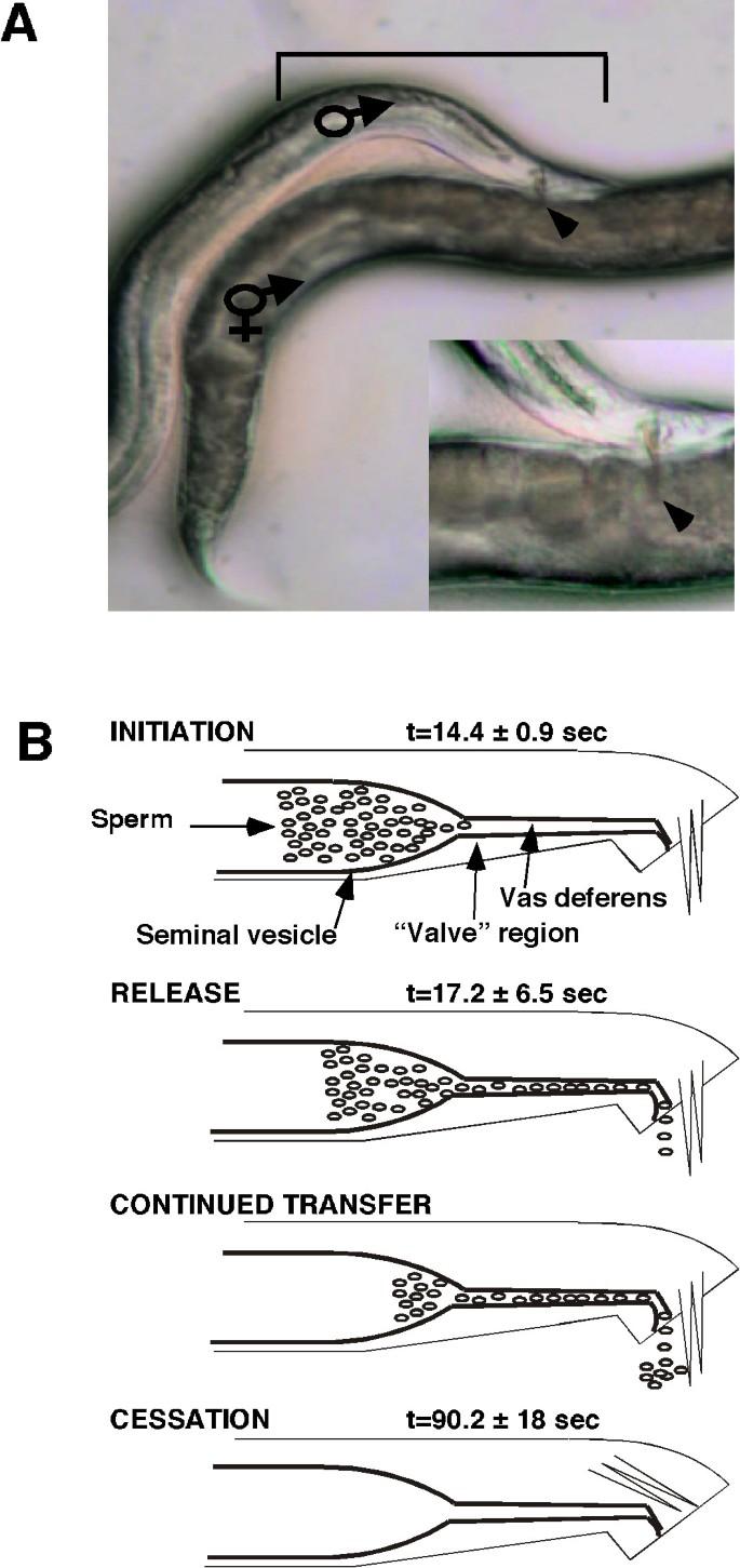 Initiation of male sperm-transfer behavior in Caenorhabditis elegans