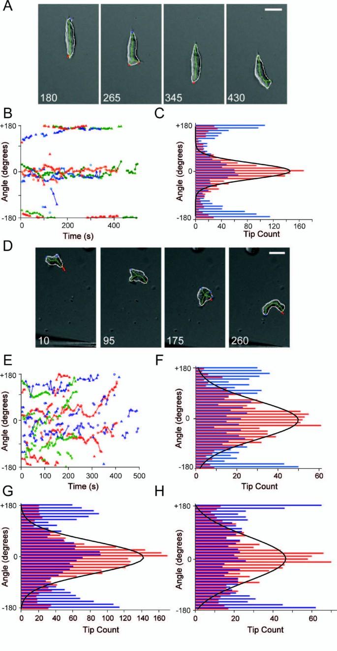 Dynacortin facilitates polarization of chemotaxing cells