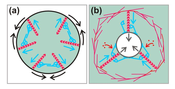 Curvature recognition and force generation in phagocytosis