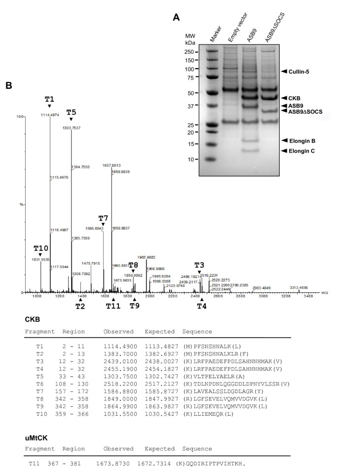 ASB9 interacts with ubiquitous mitochondrial creatine kinase and