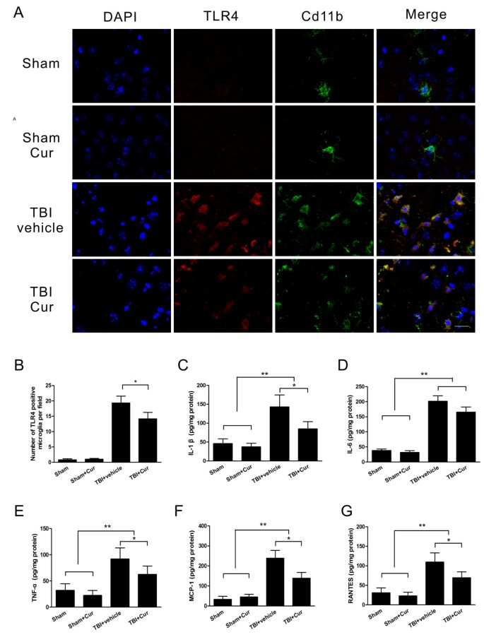 Curcumin attenuates acute inflammatory injury by inhibiting the TLR4