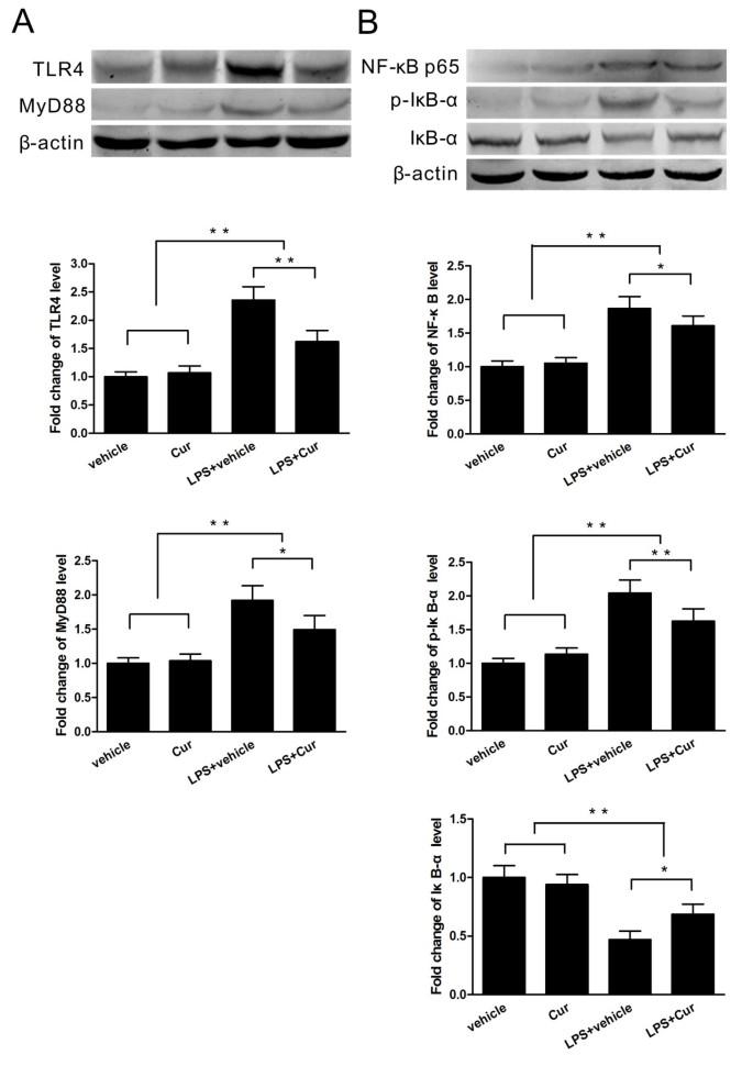 Curcumin attenuates acute inflammatory injury by inhibiting