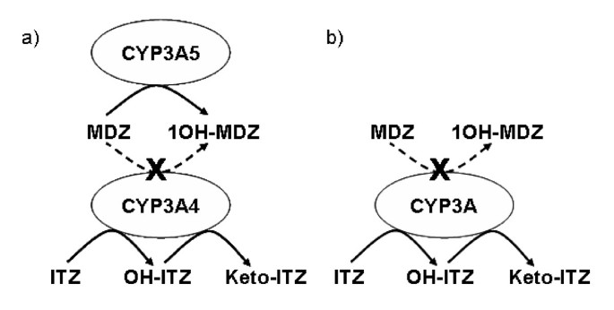 Dynamically simulating the interaction of midazolam and the CYP3A4
