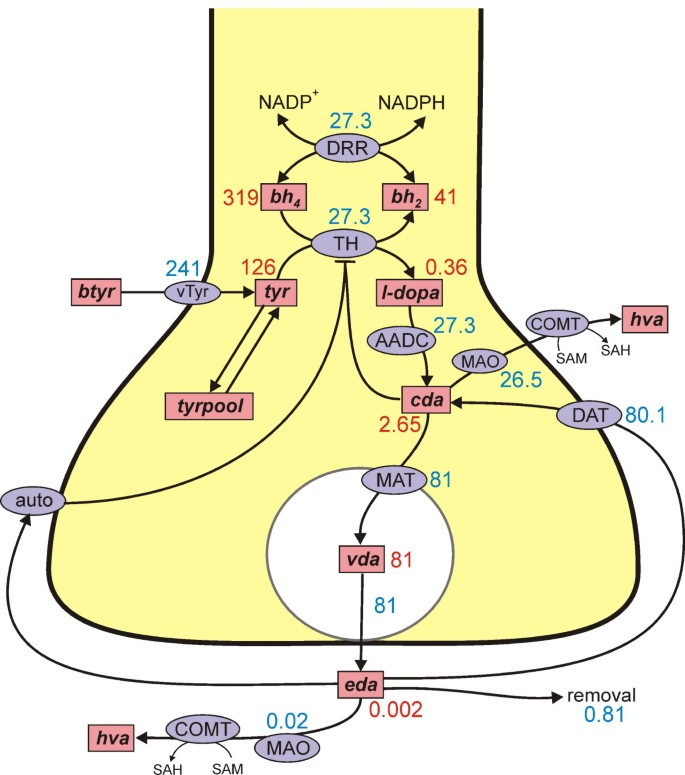 Homeostatic mechanisms in dopamine synthesis and release: a