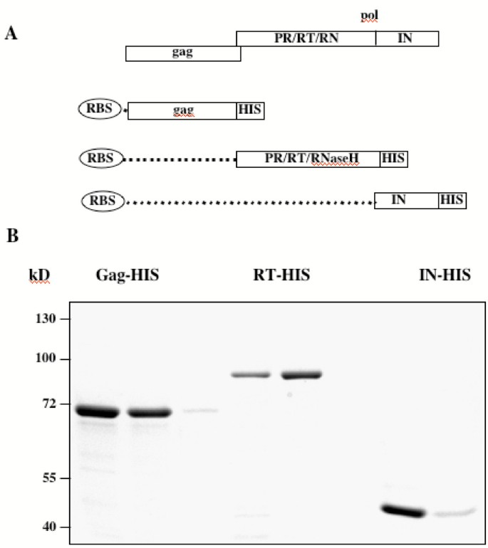 Determination of the relative amounts of Gag and Pol proteins in