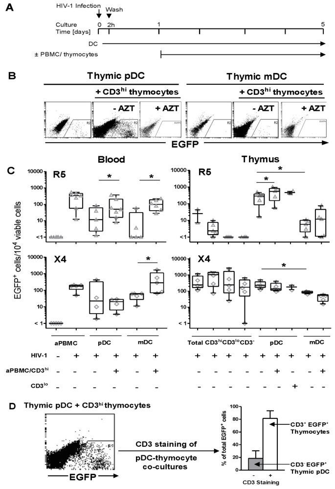 Thymic plasmacytoid dendritic cells are susceptible to