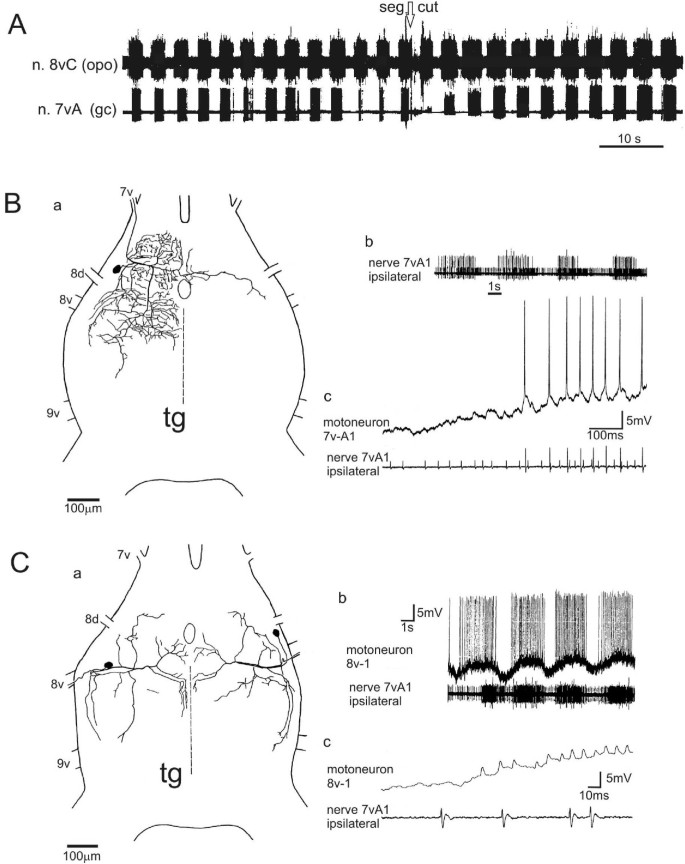 A new kind of auxiliary heart in insects: functional morphology and