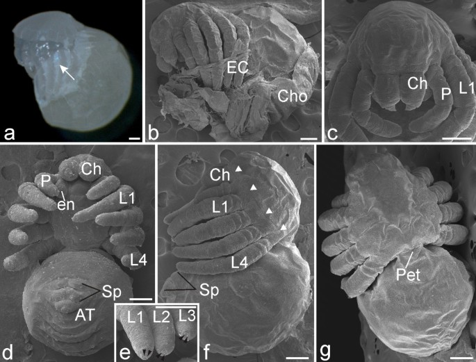 The embryonic development of the central American wandering spider