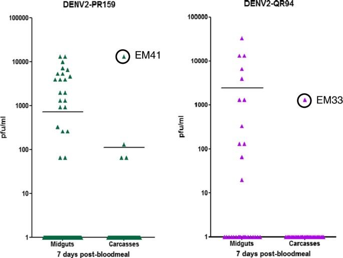 Isolation of midgut escape mutants of two American genotype dengue 2