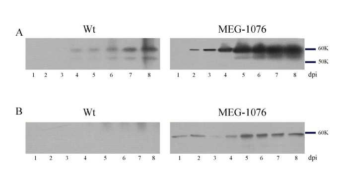 Mutational study of sapovirus expression in insect cells