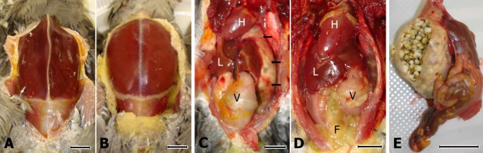 Experimental induction of proventricular dilatation disease