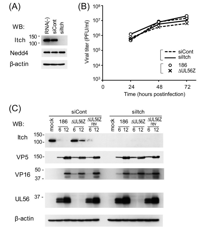 Herpes simplex virus UL56 interacts with and regulates the