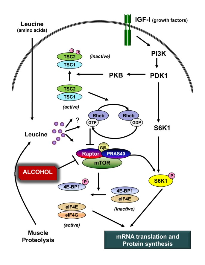 Alcohol-induced Decrease In Muscle Protein Synthesis Associated With  Increased Binding Of MTOR And Raptor: Comparable Effects In Young And  Mature Rats   Nutrition & Metabolism   Full Text