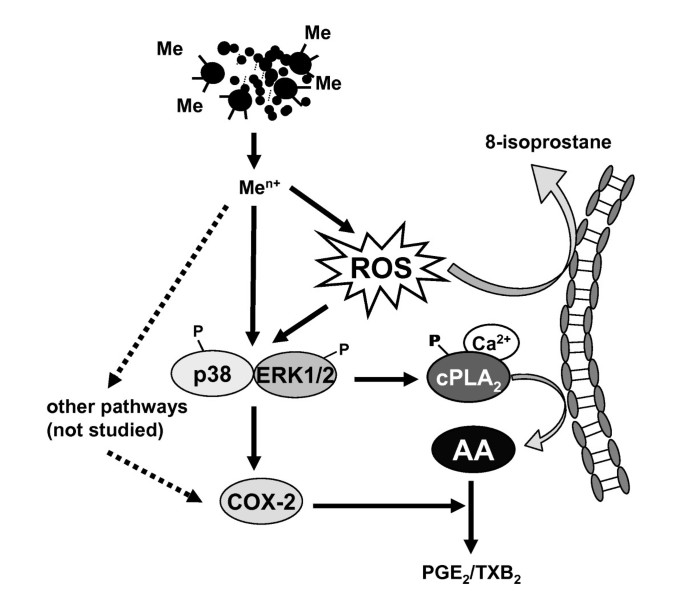 Regulation of the arachidonic acid mobilization in