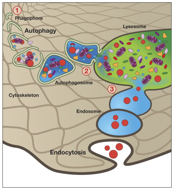 Autophagy and lysosomal dysfunction as emerging mechanisms of ... on