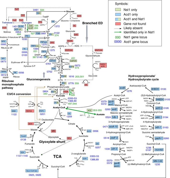 Insights into archaeal evolution and symbiosis from the genomes of a