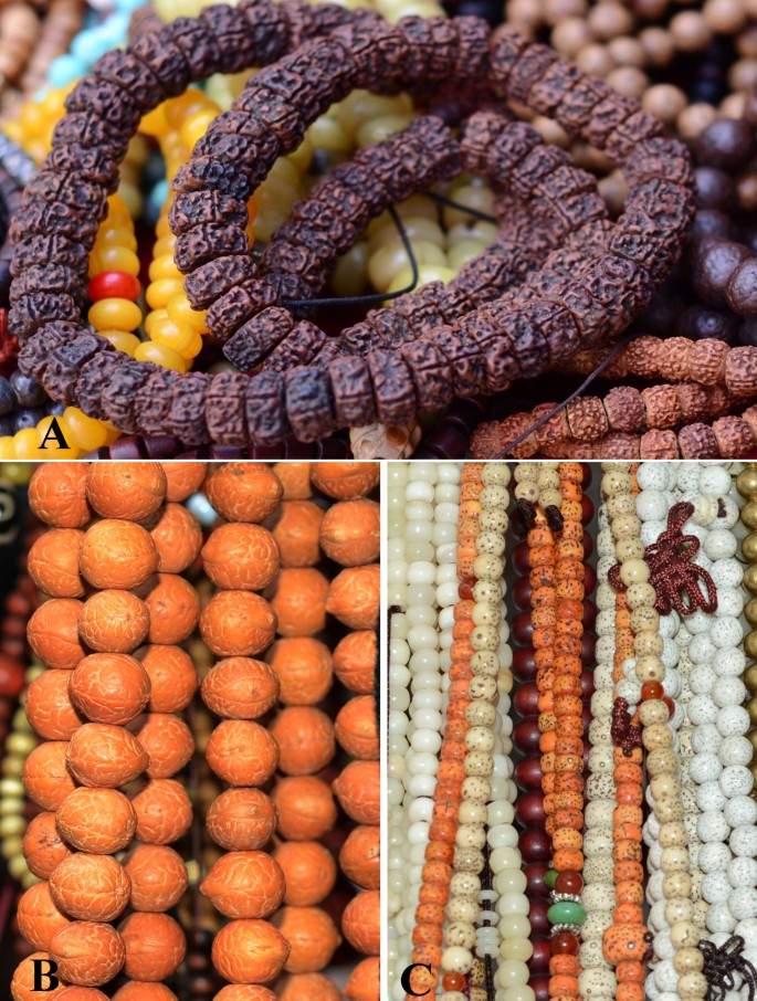 Seeds used for Bodhi beads in China | Journal of