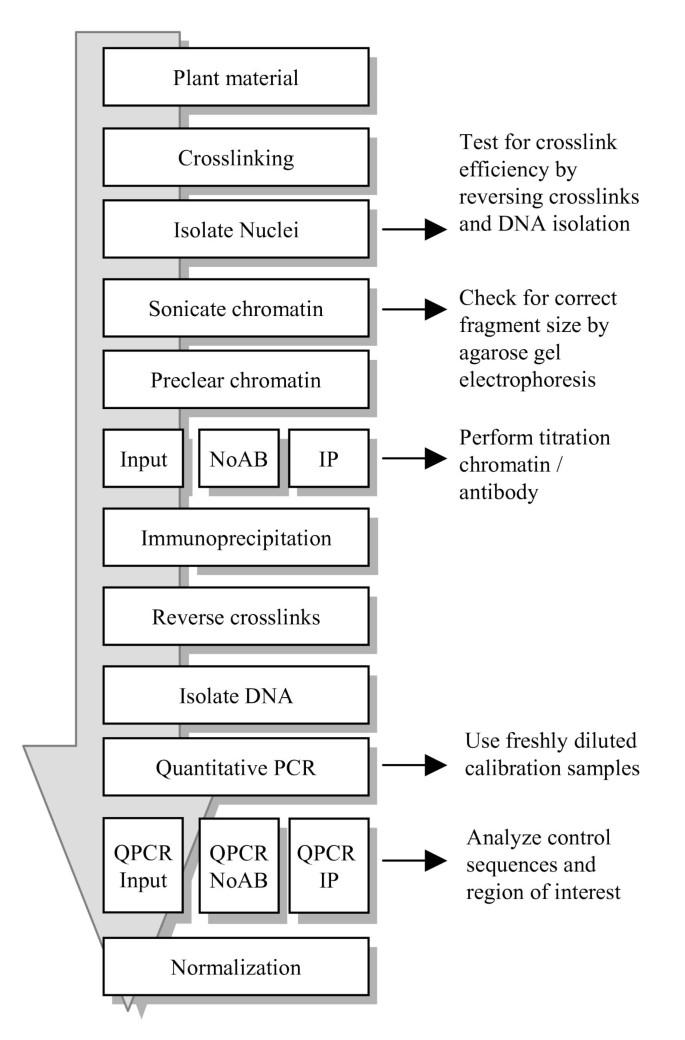 Chromatin immunoprecipitation: optimization, quantitative