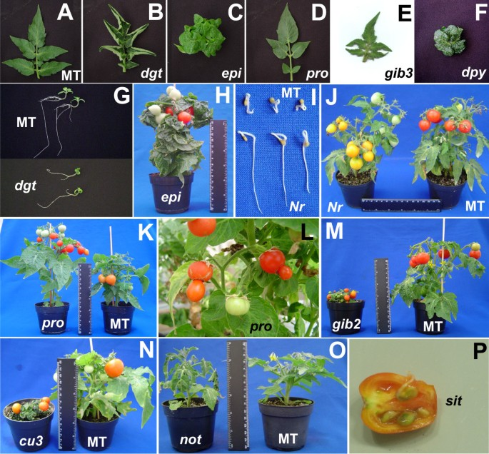 Convergence of developmental mutants into a single tomato model